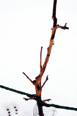 Obstbaumschädigung_durch_wildverbiss